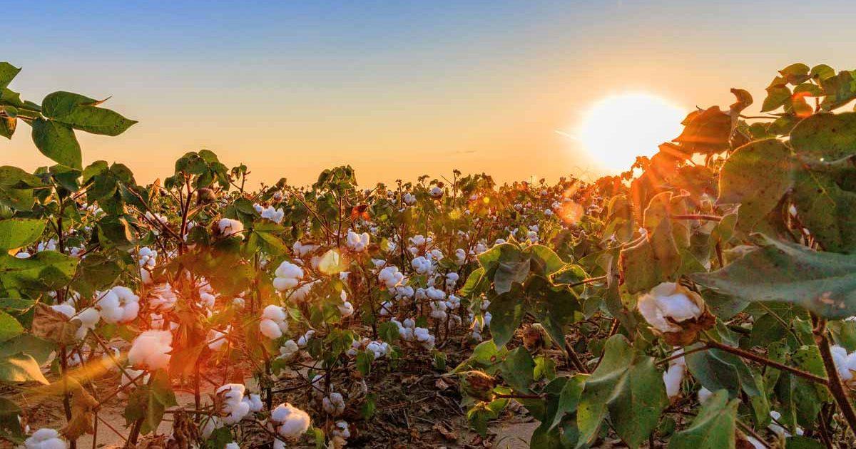 cotton-field-sunset
