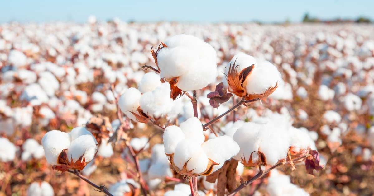 cotton_field_blue_sky