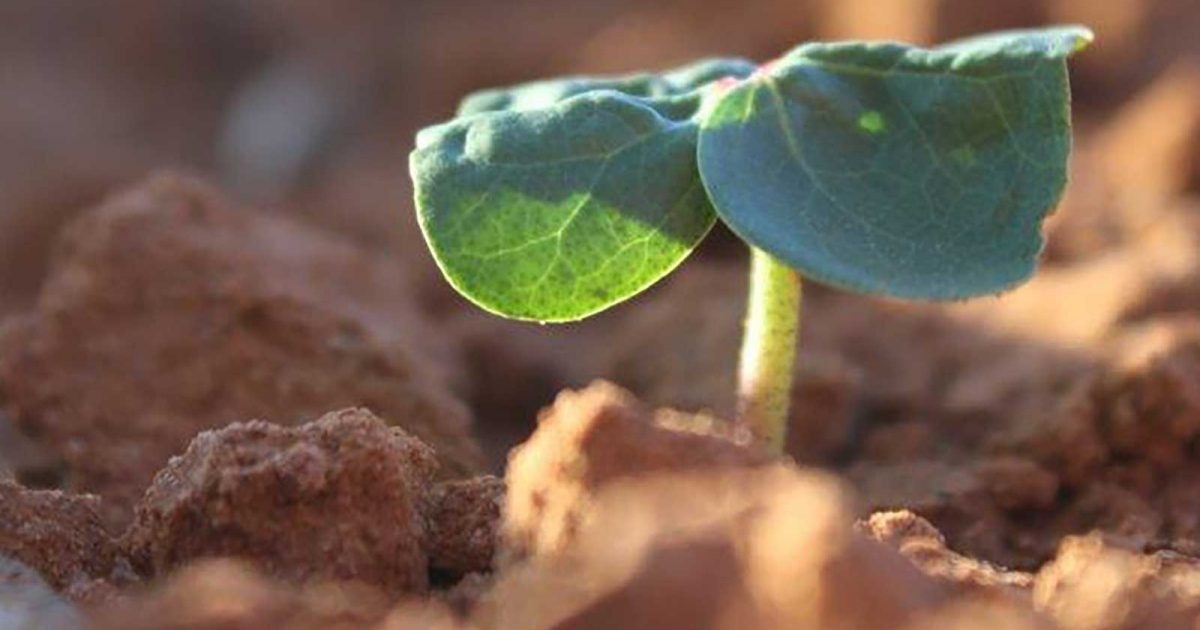 cotton_sprouting